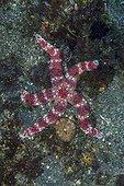 Friant's sea star (Nardoa frianti), Bali, Indonesia