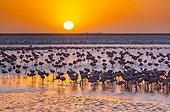 Flamants nains dans une saline, Baie de Walvis, Namibie