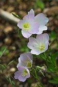 Evening primrose in bloom in a garden