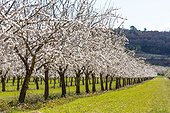 Almond trees in bloom in Venasque - Pronvence - France