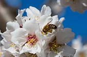 Almond tree in bloom with bee in Venasque - Pronvence - France