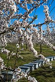 Almond trees in bloom and hives in Venasque - Pronvence - France