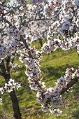 Almond tree in bloom in Venasque - Pronvence - France