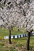 Orchards of blooming almond trees, Venasque, Provence, France