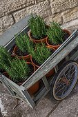 Small cart and young rosemary, Provence, France