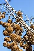 Plane tree globose heads, Provence, France