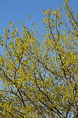Downy oak branches at springtime - France