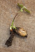 An oak's acorn, sprout and roots, Provence, France