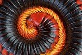 Fire Millipede (Aphistogoniulus corallipes)