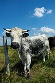 Vosges cow in a meadow