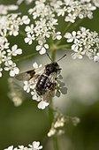 Fly, Abia fasciata, in flower. Alsterbro, Sweden in June