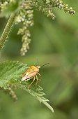 Black-shouldered Shield Bug (Carpocoris purpureipennis). Bäckebo, Sweden in July