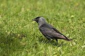 Jackdaw (Corvus monedula) on grass. Skånes Dyrepark, Sweden in June