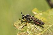 Robberfly (Dioctria hyalipennis). Molslaboratoriet, Denmark in June