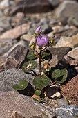 Desert Five Spot ( Eremalche rotundifolia). California Death Valley National Park, USA