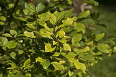 Alder Buckthorn (Frangula alnus) leaves. Allindelille Fredskov, Denmark in August