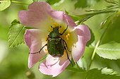 Noble chafer (Gnorimus nobilis) feeding in Rose flower. Haltorp, Øland Sweden
