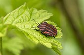 Striped Shield Bug (Graphosoma lineatum) on leaf. Denmark in May