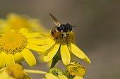 Tachinaire (Gymnosoma nudifrons) sur fleur jaune. Melby Overdrev, Danemark