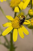 Small fly, Gymnosoma nudifrons, in yellow flower. Melby Overdrev, Denmark in June