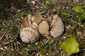 Roman Snaill (Helix pomatia) mating. Allindelille Fredskov, Denmark in May