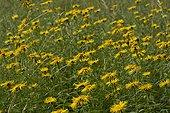 Irish Fleabane (Inula salicina). Allindelille Fredskov, Denmark in August