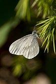 Wood White (Leptidea sinapis) resting. Bäckebo; Sweden in June