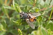 Tachinaire (Peleteria rubescens). Melby Overdrev, Danemark