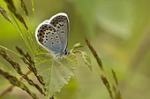 Silver-studded Blue (Plebejus argus). Bäckebo, Sweden in July