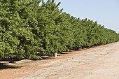 Almond (Prunus dulcis). California, USA