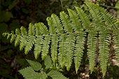 Bracken / Brake (Pteridium aquilinum). Ravnsholte skov, Denmark in June