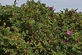 Japanese Rose (Rosa rugosa). Vrangeskov, Denmark in August