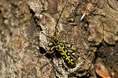 Ladder-marked Longhorn Beetle (Saperda scalaris). Allindelille Fredskov, Denmark in June