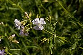 Soapwort (Saponaria officinalis). Denmark in August