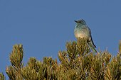 Mountain bluebird (Sialia currucoides). Panguitch, Utah USA