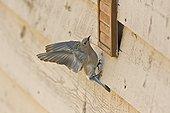 Mountain bluebird (Sialia currucoides) female. Near Panguitch, Utah, USA