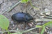 Burying Beetle (Silpha tristis). Gilsætre, Øland, Sweden in July