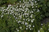 Greater Stitchwort (Stellaria holostea). Allindelille Fredskov, Denmark in May