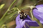 Beetle (Trichius fasciatus). Sweden in July