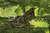 Fieldfare (Turdus pilaris) chiks in nest. Kværkeby, Denmark in May