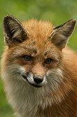 Fox (Vulpes vulpes) . Skånes Dyrepark, in captivity. Sweden in June