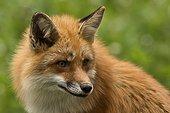 Red Fox (Vulpes vulpes) . Skånes Dyrepark, in captivity. Sweden in June