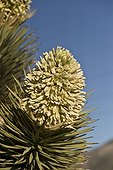 Joshua Tree (Yucca brevifolia). Lovell Canyon south west of Las Vegas. Nevada USA