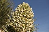 Joshua Tree (Yucca brevifolia). Lovell Canyon south west of Las Vegas. Nevada USA