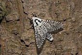 Leopard Moth (Zeuzera pyrina). Kværkeby mose, Denmark in July