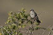 White-crowned sparrow (Zonotrichia leucophrys). McDowell Sonoran Preserve Tom's Thumb Trailhead, Scottsdale, Phoenix Arizona, USA