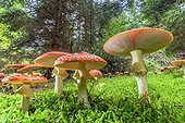 Fly Agaric (Amanita muscaria) , hudge thrust into a forest of Jura autumn, France