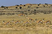 Springbocks Herd ( Antidorcas marsupialis ) , Kgalagadi National Park - Kalahari - South Africa