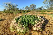 Lechenaultia macrantha : Wreath Flower, rare and endemic to parts of Western Australia sectors including spring bloom is spectacular and is the attraction of the area of Mullewa and Pindar.