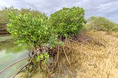 Mangrove : stilt roots and pneumatophores - Ningaloo Marine Park - Western Australia, the stilt roots of mangroves Rhyzophora stylosa enable them to withstand the tides in the mud of the mangroves. Mangroves are a very fragile and original ecosystem , threatened worldwide .